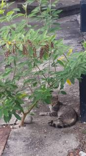 Host family's cat hanging out under a bean bush